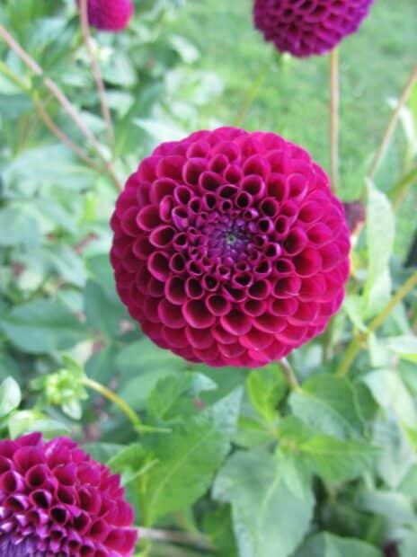 Dahlia pompon violet en fleur