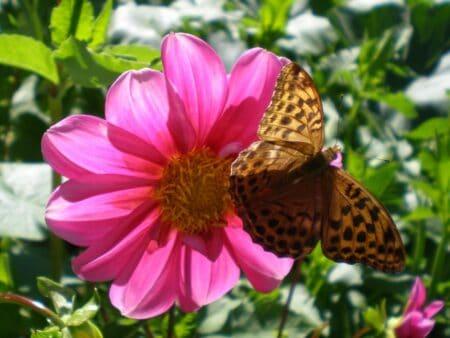 Un paipillon sur une fleur Rose