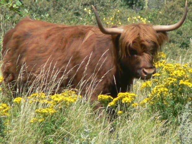 Jeune vache Highland
