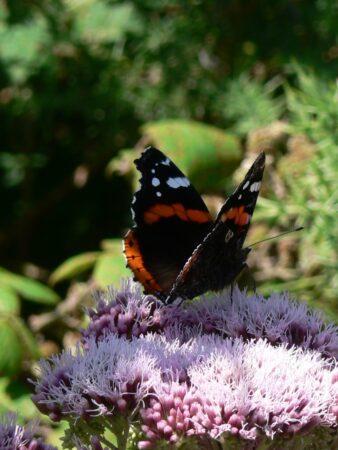 Papillon petit écaille sur fleur
