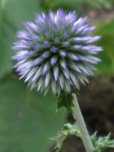 Fleur ressemblant à une boule de piquants