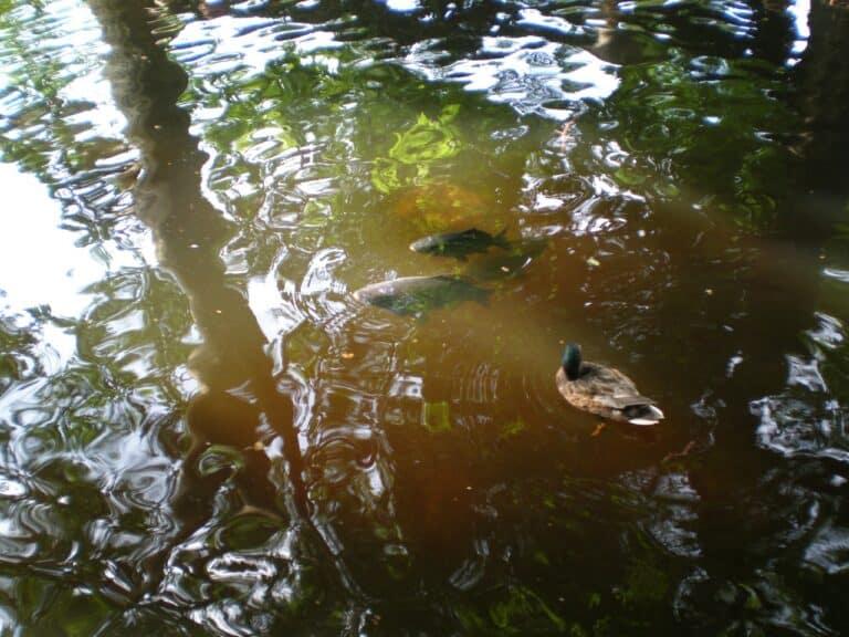 Carpes et canard dans l'eau