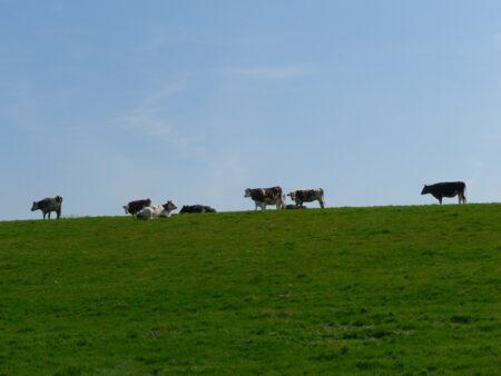 Vaches se découpant sur le ciel